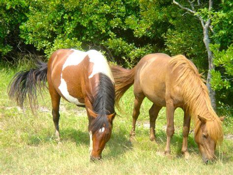 chincoteague ponies wild discrimination possible