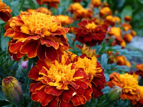 planting fall flowers  autumn colors list