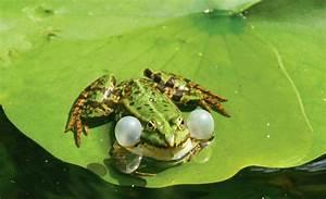 Tiere Im Gartenteich : frosch im teich ~ Eleganceandgraceweddings.com Haus und Dekorationen