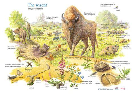 bison european species keystone europe rewilding wisent wild america ark north forest range animal open forests semi popular food areas
