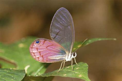 glasswing butterfly cithaerias sp  leaf amazon