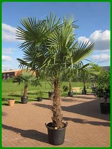 Palmen Für Den Garten : palme f r garten winterhart kreative ideen f r innendekoration und wohndesign ~ Sanjose-hotels-ca.com Haus und Dekorationen
