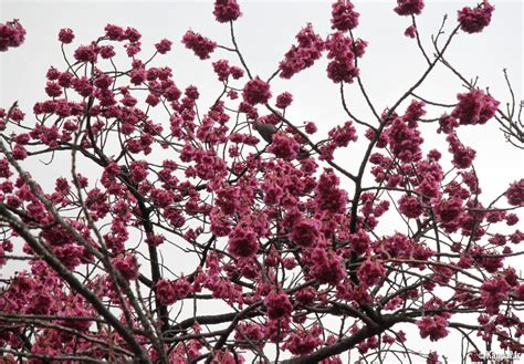 cuisine scientifique pruniers japonais la première floraison