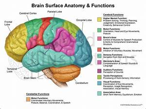Brain Functions  Lateral View   U2013 Biomed Illustrations Llc