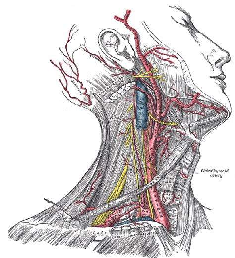 You have one of these arteries on each side of your neck. Where exact is the carotid artery located? - Quora