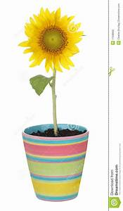 Sunflower In A Pot Stock Photography - Image: 17538602