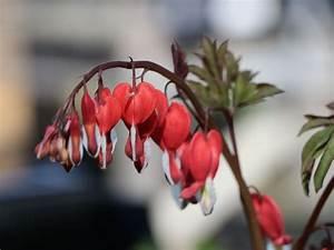 Tränendes Herz Blume : hohe herzblume tr nendes herz 39 valentine 39 dicentra spectabilis 39 valentine 39 baumschule horstmann ~ Eleganceandgraceweddings.com Haus und Dekorationen