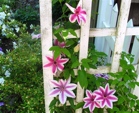 best flowering vines views from the garden best flowering vines for a garden archway pergola trellis or arbor