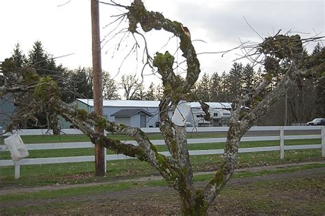 pruning apple trees in autumn fruit tree pruning on the banks of salt creek
