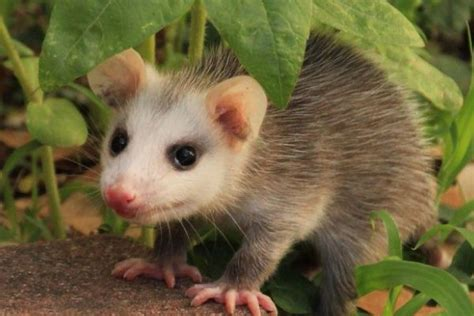 possums eat hows  diet