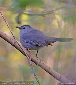 Florida State Bird Mockingbird