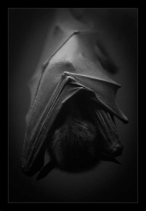 Sleeping Bat