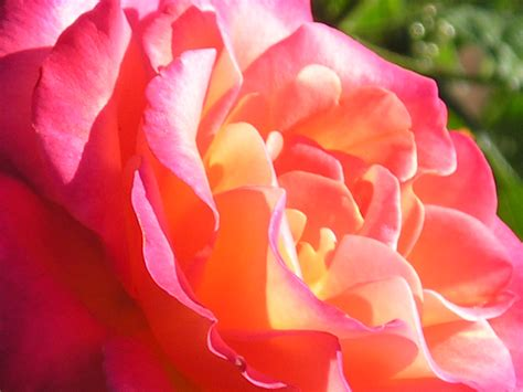 types of roses types of roses garden guides