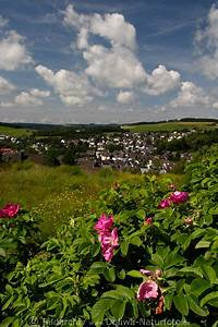 Rose In Kartoffel Anpflanzen : kartoffel rose foto rosa rugosa lila wilde bl ten bild ~ Lizthompson.info Haus und Dekorationen