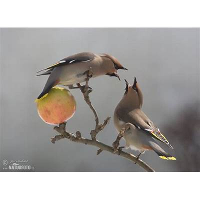 Bohemian Waxwing Photos Images Nature