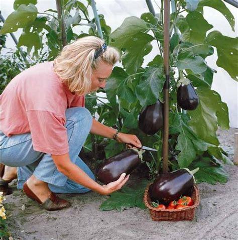 cultiver aubergine en pot 10 l 233 gumes indispensables au potager conseils et astuces