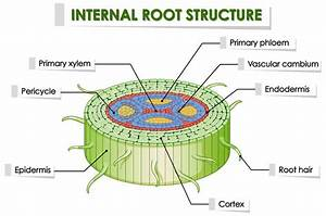 Root Structure Stock Illustrations  U2013 2 739 Root Structure