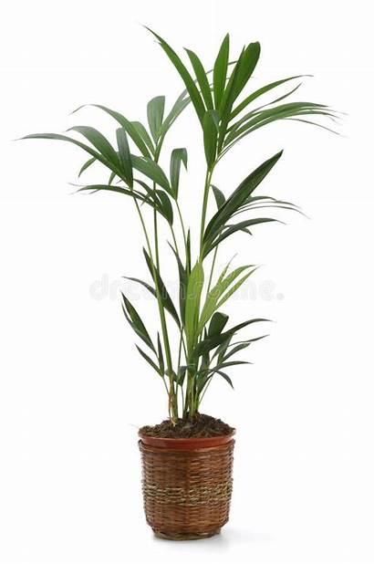 Palm Indoor Plants Kentia Trees Ornamental Plant