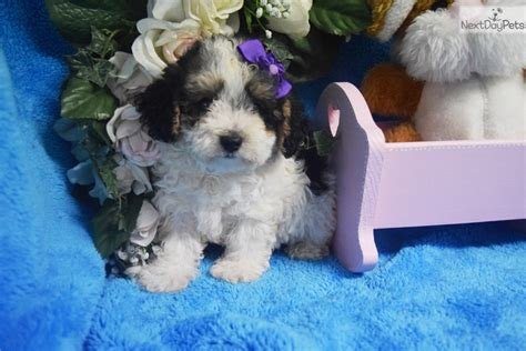 Do Yorkie Poos Shed Hair by Pic A Poo Puppies Shedding Hair Breeds Picture
