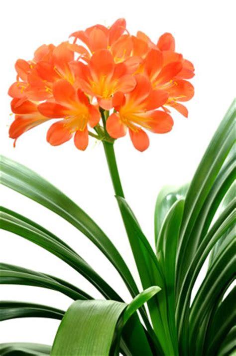 Zimmerpflanze Orange Blüte by Clivie Riemenblatt Clivia Miniata Pflege Anleitung
