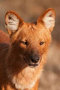 The Endangered species of Pack Hunters – Dhole (Wild Dog ...