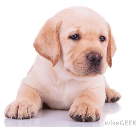 labrador retriever  dog food  labrador puppies
