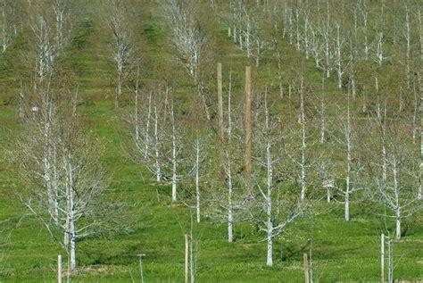 Garten Gestalten Obstbäume kalkfarbe streichen obstb 228 ume im winter sch 252 tzen garten