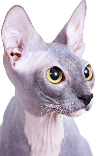sphynx cat cat breeds encyclopedia