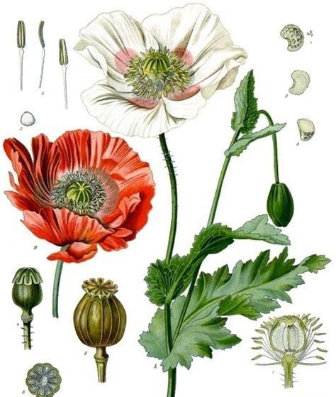 poppy leaves papaver somniferum