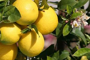 Dünger Für Zitronenbaum : compo bio zitruspflanzend nger f r alle zitruspflanzen arten nat rlicher spezial fl ssigd nger ~ Watch28wear.com Haus und Dekorationen