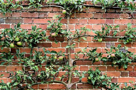 espalier apple trees espalier it only sounds ostentatious ohio gardener enewsletter