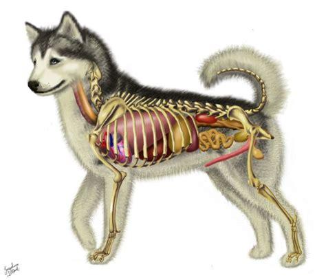 dog anatomy  jacquelinerae anatomy dog anatomy dogs