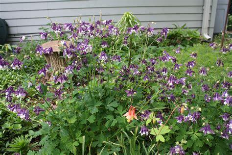 columbine plant columbine donna s garden