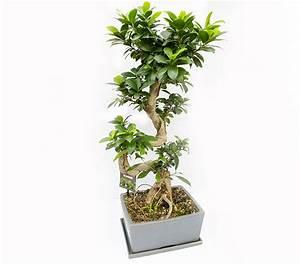 Bonsai Ficus Ginseng : bonsai ficus microcarpa ginseng h 80 cm ~ Buech-reservation.com Haus und Dekorationen