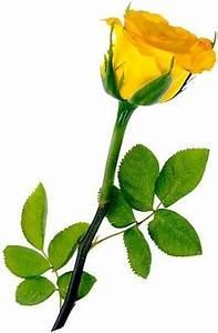 Blue Rose: My Single, Yellow Rose