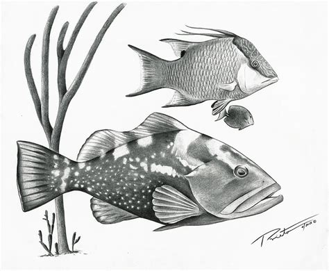 fish grouper drawing hog drawings prieto pedro reef coral designs 6th uploaded december which fineartamerica