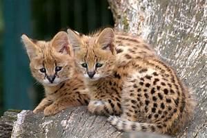 Wild Spirits of Nature: Serval | Terrestrial | Pinterest ...