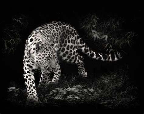 bureau pc design leopard wallpaper black and white hd desktop wallpapers