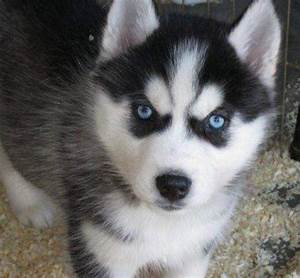 Cute White Husky Puppies With Blue Eyes | cuties ...