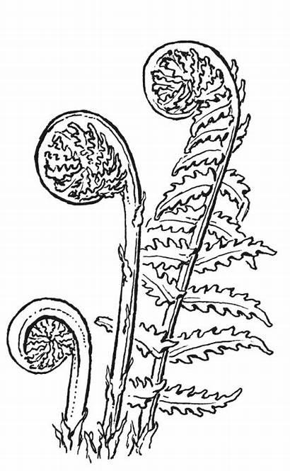 Fern Drawing Leaf Botanical Fronds Translator Vector
