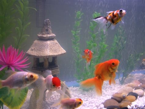 top   pet fish   time freshwater stickpets