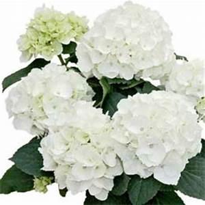 Hortensie Weiß Winterhart : hortensien online kaufen 70 hortensien im angebot der hortensienkatalog auf ~ Orissabook.com Haus und Dekorationen