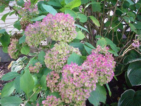 Fall Flowering Shrubs  Main Street Landscape