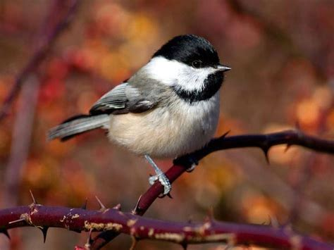 black capped chickadees phoebe who