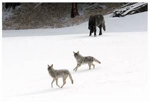 R Link 2 Coyote : psbattle coyotes seeing reintroduced wolves for the first time photoshopbattles ~ Medecine-chirurgie-esthetiques.com Avis de Voitures