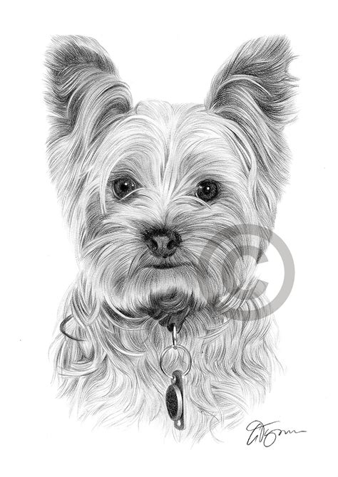 yorkshire terrier art print   sizes pencil drawing