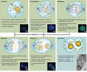 Which Phase Of Mitosis Is Shown In The Diagram