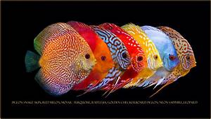 Line up of some of my Discus   Discus   Pinterest   Discus