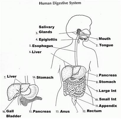 Digestive System Human Worksheet Respiratory Worksheets Systems
