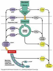 The 25  Best Oxidative Phosphorylation Ideas On Pinterest